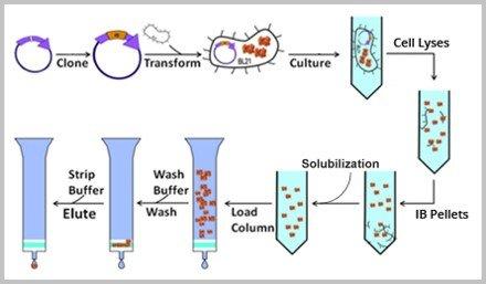 تولید پروتئین های نوترکیب با استفاده از سلول های یوکاریوتی و پروکاریوتی