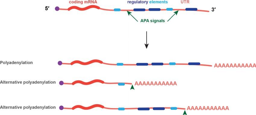 طراحی پرایمر miRNA