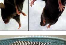 Neurologic-assessment-A-Tail-suspension-test-Kcc3--mice-clasp-both-the-forelimbs-and2